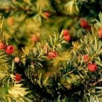 Himalayan Yew - Historical Herb for Modern Cancer Treatment