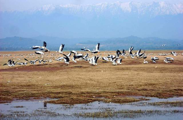 Worlds largest bar headed geese flocks winter at Pong Dam Wetlands