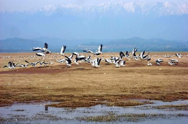 Worlds largest bar headed geese flocks winter at Pong Dam Wetlands