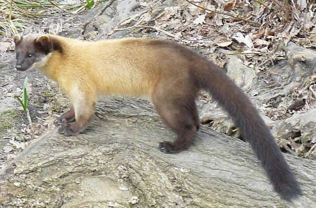 Himalayan Yellow Throated Marten