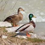 Mallard Bird Pong Dam