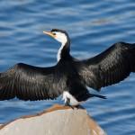 Pong Dam Cormorant Bird