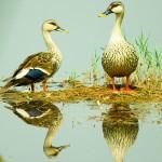 Spot Billed Duck Pong Dam Wetland