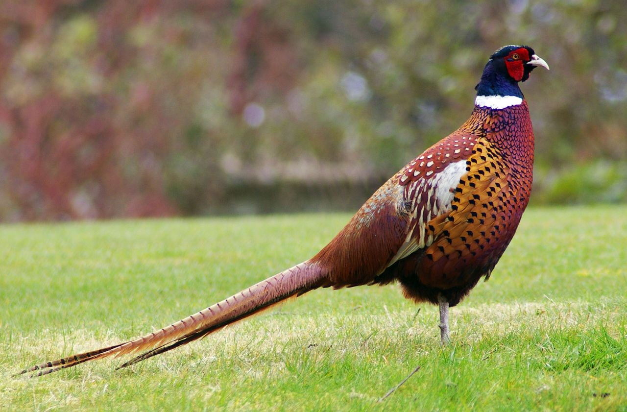 Pheasant Churdhar Sanctuary