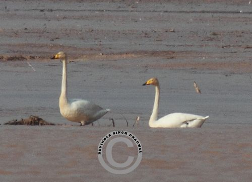 Whooper Swan sighted after a gap of 113 years in 2013 by DS Dhadwal