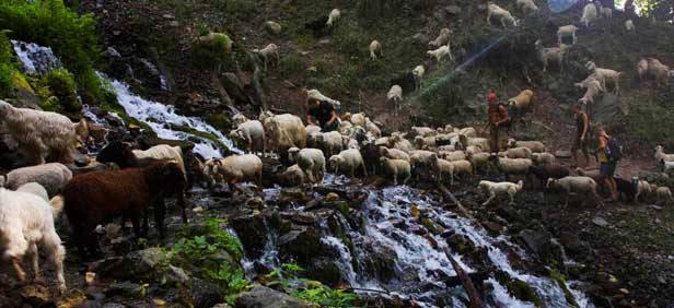 herd-sheep-kheerganga